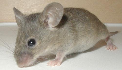 Chuột ăn trộm vàng