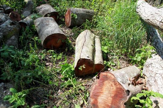 Hơn 20m3 lâm sản ngổn ngang trong rừng nguyên sinh