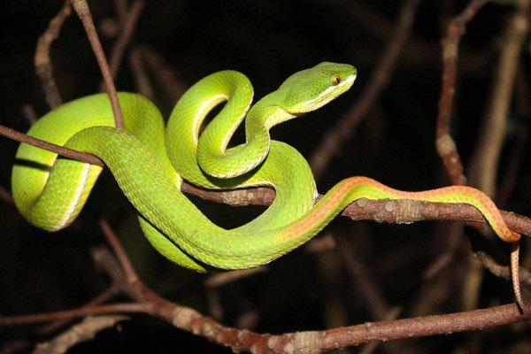 Rắn lục đuôi đỏ tràn về theo nước lũ, có nên garo khi bị rắn cắn?