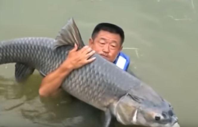 Video: Cần thủ Trung Quốc bị cá trắm nặng 75kg kéo xuống hồ