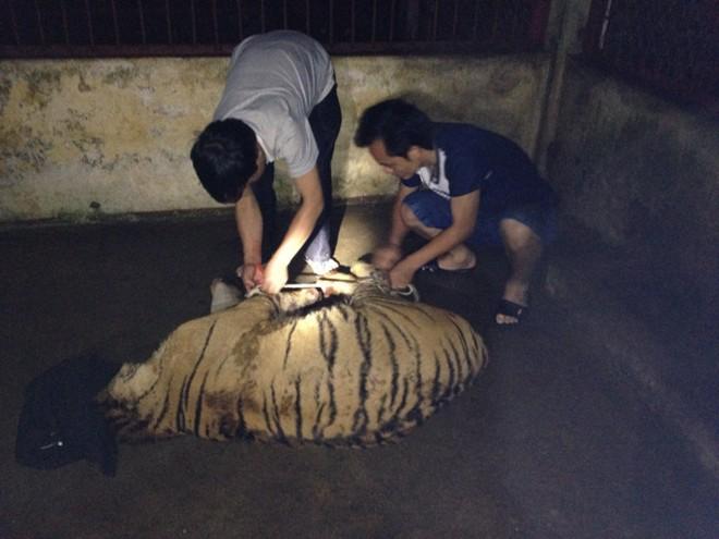 Bị truy đuổi, ném hai con hổ còn sống xuống đường