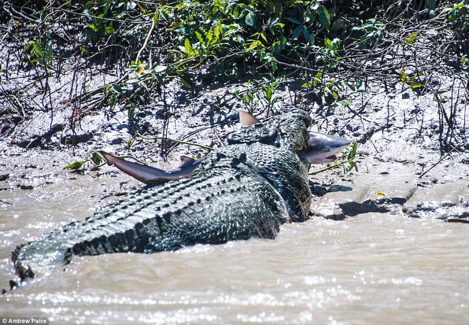 Cá sấu khổng lồ quyết chiến ăn thịt cá mập bò