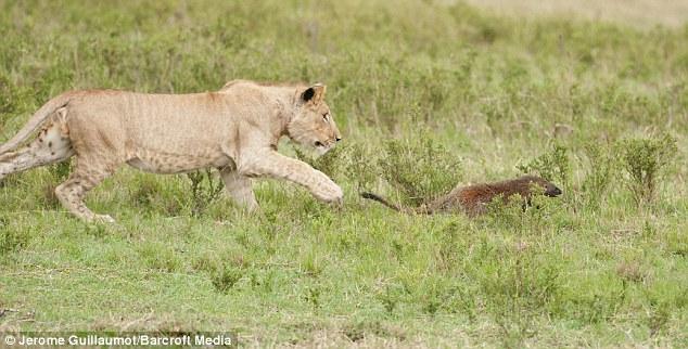Ấn tượng cảnh cầy magnut một mình chống lại 4 con sư tử hung tợn