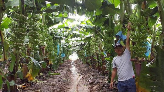 Dứt bỏ duyên nợ với bất động sản, bầu Đức mơ trở thành người trồng chuối hàng đầu châu Á - Ảnh 2