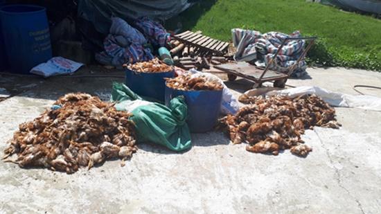 1.200 con gà chết trong đêm, vợ chủ trang trại bị người lạ đánh nhập viện - Ảnh 1