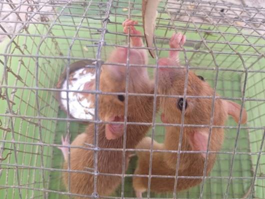 Năm Canh Tý, nông dân miền Tây bẫy được cặp chuột lông vàng lạ mắt - ảnh 1