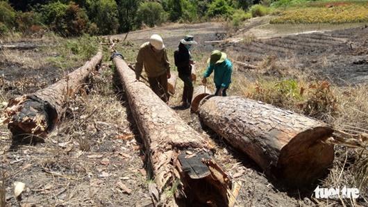 Bắt quả tang nhóm đối tượng phá rừng nội ô Đà Lạt - ảnh 1
