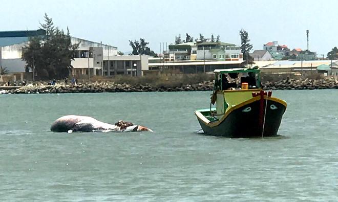 Ngư dân Phan Thiết an táng cá Ông 3 tấn chết trôi dạt vào bờ - ảnh 1