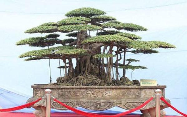 """""""Đại gia"""" sở hữu thiên tuế """"Thiên cổ trường tồn"""" tuổi đời khoảng 1.000 năm tuổi ở Hà Nội là ai? - ảnh 1"""