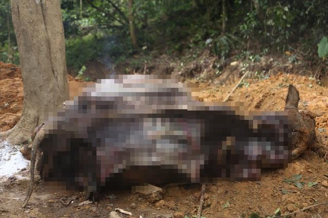 14 con trâu trị giá hàng trăm triệu đồng bỗng lăn đùng ra chết, nghi bị kẻ gian đầu độc - ảnh 1