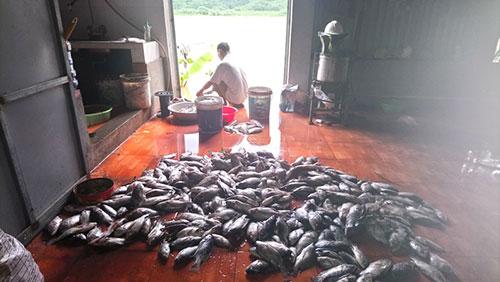 Hàng trăm tấn cá lồng trên sông Đà chết hàng loạt do thủy điện xả lũ - ảnh 1