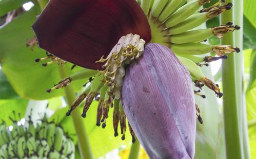 Ăn hoa chuối giúp chữa nhiều bệnh mùa hè - ảnh 1