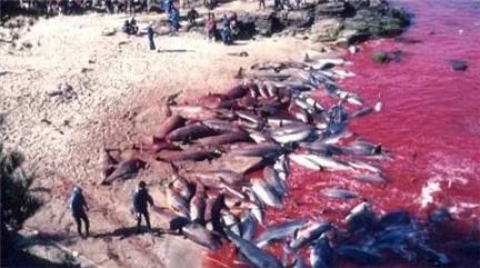 Nhật Bản: Hé lộ sự thật cảnh tàn sát cá heo khủng khiếp đang bị lên án mạnh mẽ - ảnh 1