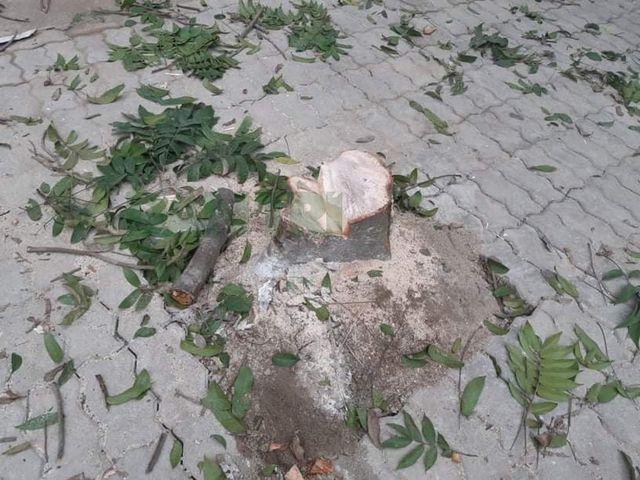 Hà Nội: Làm rõ vụ hàng cây xanh bị nhóm đối tượng chặt trộm trong đêm - ảnh 1