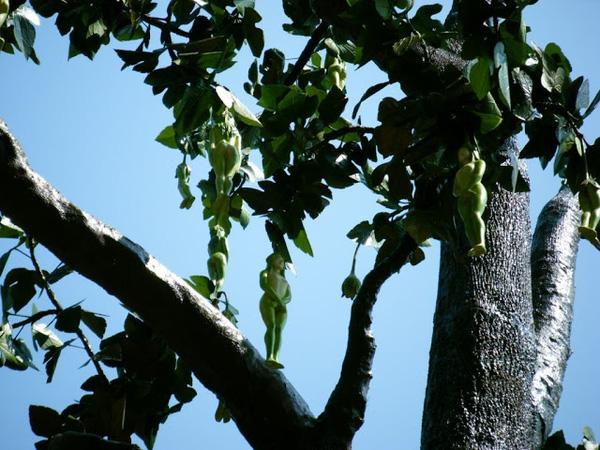 Sự thật đằng sau bức ảnh loài cây có quả giống hệt thiếu nữ khỏa thân  - ảnh 1