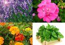 Ăn - Chơi - Những cây trồng trong nhà có tác dụng đuổi muỗi tránh dịch bệnh