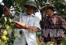 Tin tức - Nông dân trồng hồng không hạt thu 8 tỷ mỗi năm