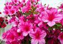Những loài hoa đẹp trưng bày dịp Tết mang lại may mắn cho gia chủ