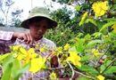 Tin tức - Hoa nở trước Tết vì thời tiết bất lợi, nhà vườn lo lỗ nặng