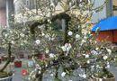 Tin tức - Chiêm ngưỡng cây mai cổ rêu phong có giá trăm triệu