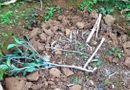 Tin tức - Hộ dân bị kẻ xấu chặt hạ 500 cây cam đúng ngày 28 Tết