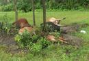 Tin tức - Tin tức thời sự 24h mới nhất ngày 28/6/2018: 5 con bò đồng loạt bị sét đánh chết trên cánh đồng