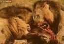 Tin tức - Video: Linh cẩu trả giá đắt vì đánh cắp thức ăn của bầy sư tử.