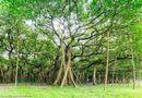 Cận cảnh cây đa khổng lồ nhất thế giới: Tán cây bao phủ hơn 14 nghìn mét vuông