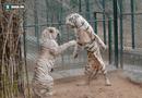 Tin tức - Video: Cuộc chiến bất phân thắng bại giữa hai con hổ trắng
