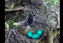 Video: Rắn lẻn lên cây tham lam nuốt chửng 4 quả trứng chim
