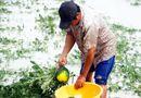 Tin tức - Gần 70 ha dưa hấu ngập trong biển nước, nông dân Cà Mau lo mất Tết