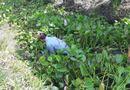 Pháp luật - Tiền Giang: Nổ súng trấn áp trường gà, bắt 31 con bạc