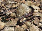 Chuyện lạ - Người cắn chết rắn cạp nong cực độc