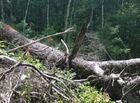 Tài nguyên - VQG Chư Yang Sin: Nhẫn tâm đốn hạ rừng già chỉ để lấy… hạt