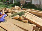 Tin trong nước - Ngày 25/8, công bố kết quả điều tra vụ phá rừng pơ mu