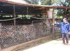 """Tin trong nước - Đắk Lắk: Người dân khốn đốn vì trang trại chăn nuôi """"bao vây"""""""