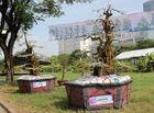 Bí quyết làm giàu - Cận cảnh cặp khế kiểng 300 tuổi rao bán giá 12 tỷ tại chợ hoa TP. Hồ Chí Minh