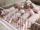 Thị trường - Chuyện khó tin: Giá 1 kg thịt lợn hơi chỉ bằng 4 cốc trà đá