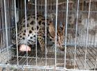 Tin trong nước - Bẫy chồn, dính cá thể mèo rừng quý hiếm