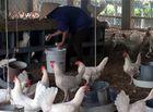 Kinh doanh - Sau khủng hoảng thịt lợn, trứng gà xuống giá 1.000 đồng/quả, ế chất đống đầy nhà