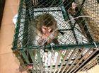 """Tin trong nước - Bắt khỉ """"lạ"""" nặng gần 10 kg chuyên """"trêu"""" phụ nữ, giết gà của người dân"""