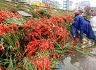 Tin tức - Hà Nội: Thương lái ngậm ngùi đổ cả nghìn bó hoa lay ơn chiều mùng 7 Tết