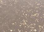 Tin tức - Trà Vinh: Gần 300 tấn nghêu chết bất thường trước thời điểm thu hoạch