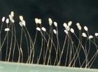 Tin tức - Thực hư hoa ưu đàm 3.000 năm mới nở xuất hiện tại TP.HCM