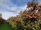 Tin thế giới - Cận cảnh vườn táo cổ 300 tuổi đẹp như thiên đường tại Mỹ
