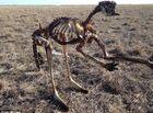 Tin thế giới - Hạn hán nghiêm trọng nhất 100 năm qua ở Úc, kangaroo chết trơ xương giữa đồng