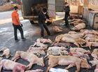 Tin trong nước - Dịch tả lợn châu Phi lây lan nhanh tại Điện Biên