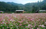 Ngẩn ngơ với vẻ đẹp của những cánh đồng hoa tam giác mạch