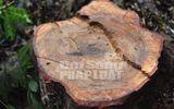 Bất thường việc đốn hạ cây lim xanh ở Khu bảo tồn rừng sến Tam Quy?