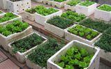 Cảnh báo nguy cơ rau tự trồng nhiễm độc